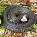 Northern Cottonmouth
