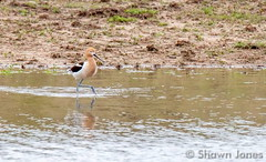 May 9, 2015 - An American Avocet at the Rocky Mountain Arsenal. (Shawn Jones)