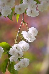 Dubbele sierkers (Prunus avium 'Plena'). Cherry blossom. a 04 (George Ino) Tags: flowers copyright holland utrecht flor nederland thenetherlands fiore lente bloemen efflorescence florao prunusaviumplena blteblossomrosaceaecherryblossomhanamisakura georgeino georgeinohotmailcom voorjaarspringfrhjahrprintempsprimavera dubbelesierkers