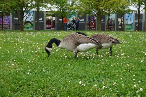 Geese, East Village