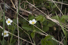"""Wild Strawberry • <a style=""""font-size:0.8em;"""" href=""""http://www.flickr.com/photos/63501323@N07/17542752018/"""" target=""""_blank"""">View on Flickr</a>"""