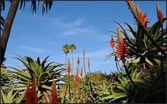 Tall Aloe (tdlucas5000) Tags: blue red sky plants green gardens succulent los aloe rancho alamitos