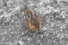 Chipmunk (craigmdennis) Tags: canada mountains cute chipmunk squamish thechief