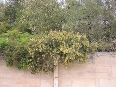 Stein-Eiche westlich Can Picafort, Mallorca, NGIDn570363155 (naturgucker.de) Tags: quercusilex steineiche naturguckerde cwolfgangkatz 1038097865 409271081 2119848190 ngidn570363155