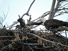 Eagle&eaglet522_4 (GWP Photography) Tags: bird animal nikon nest eagle outdoor pennsylvania pair adler baldeagle pa coolpix eaglesnest nesting eaglet aquila orel águia aigle waynecounty águila 老鷹 orzeł babyeagle milanville örn נשר ワシ eaglechick орел عقاب upperdelawareriver αετόσ waynecountypa coolpixp600 אָדלער