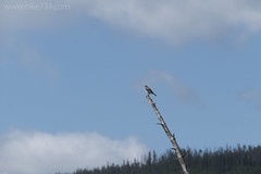 """Mountain Bluebird • <a style=""""font-size:0.8em;"""" href=""""http://www.flickr.com/photos/63501323@N07/27740281944/"""" target=""""_blank"""">View on Flickr</a>"""