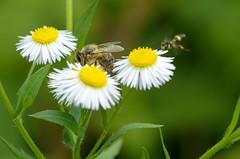 DSC_8651 (PiotrekSmyk) Tags: flower macro insect nikon 11 bee sp di tamron 90mm vc f28 usd d7000 f004