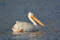 American White Pelican DSC_6854 (Ron Kube Photography) Tags: vacation nikon bc britishcolumbia pelican bcvacation americanwhitepelican d7100 ronaldok nikond7100 ronkubephotography 2015vacation