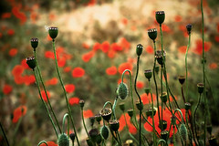 Poppies (Jean-Franois Chamberlan) Tags: poppies coquelicots fujix30