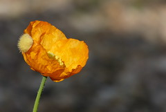 Yellow Poppy still in diapers (joeke pieters) Tags: 1280636 panasonicdmcfz150 klaproos klatschmohn poppy geel yellow flower bloem bokeh platinumheartaward ngc npc