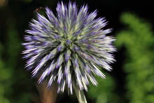 """Kugeldisteln (Echinops) (2) • <a style=""""font-size:0.8em;"""" href=""""http://www.flickr.com/photos/69570948@N04/28150560060/"""" target=""""_blank"""">View on Flickr</a>"""