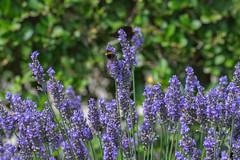 IMG_4896 (ElsSchepers) Tags: limburglavendel lavendelhoeve stokrooie kuringen hasselt natuur vlinders