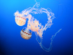"Purple-Striped Jelly (""Chrysaora Colorata""), Monterey Bay Aquarium, Monterey, California, USA (jimg944) Tags: purplestripedjelly chrysaoracolorata jellyfish jellies montereybayaquarium montereybay monterey aquarium mba mbari california"