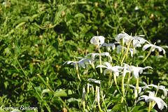 Jazmn (Geba22) Tags: mont montevideo uruguay outdoors outdoor nature naturaleza jardin garden jazmin green verde flowers flores flower