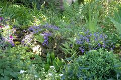 ckuchem-3598 (christine_kuchem) Tags: biogarten farn frauenmantel garten gartenstaude landhausgarten mauer naturgarten privatgarten staude stein steinmauer trockenmauer vorgarten ziergarten