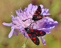 Widderchen (Hugo von Schreck) Tags: macro butterfly insect outdoor moth makro insekt schmetterling widderchen zygaenafilipendulae sechsfleckwidderchen fantasticnature onlythebestofnature tamron28300mmf3563divcpzda010 canoneos5dsr hugovonschreck