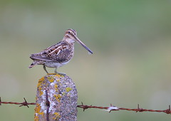 Snipe (Martial2010) Tags: snipe north uist outer hebrides scotland canon