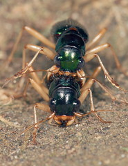 Virginia Metallic Tiger Beetles (cotinis) Tags: insect beetle coleoptera carabidae tetracha tetrachavirginica megacephala megacephalavirginica tigerbeetle virginiametallictigerbeetle northcarolina piedmont sigma150mmexdgf28macro inaturalist