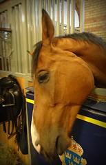 Heartbroken. (Papa Razzi1) Tags: 7586 2016 211365 gino geronimo heartbroken horse stables lg police policehorse july summer