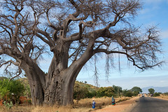 Malawi 2016 (d.vanderperre) Tags: africa malawi baobab rural hugetree women