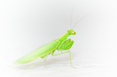 Praying Mantis 2 (Justintimett) Tags: a6000 marco close up nature colours insects praying mantis