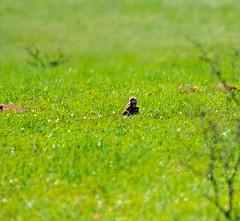 Burrowing Owl (FocusedOnNature.com) Tags: burrowingowl lascienagasnca