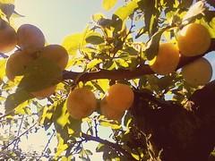 "Prunus Domestica ""Mirabel"" Bio. (lobotomyzed) Tags:"