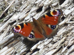 x P2530362c Peacock . . Sunbathing on our hot! thatched roof . . !! .. . . (Erniebobble::) Tags: erniebobble 2016 nature newforest wildlifegarden wildlife butterfly wings bct colours edge education study portrait textural shape summer suspended feeding green environment ecosystem biodiversity balance harmonious peaceful gentle restful tranquil transient fleeting metamorphosis climate endangered pollination nectar secretworld painting pattern surface art above weather ephemeral biomarkers changing chrispackham garden transition eye antennae thatch roof background soft grey reeds warm resting bright hues contrast lepidoptera blue red orange sunny shade brilliant iridescent glow brown dappled detail golden