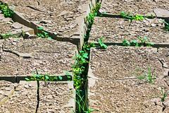 Struggle to Survive (haidarism (Ahmed Alhaidari)) Tags: struggle survive dry mud life despair hope drought plant bokeh outdoor nature depthoffield sonya65 macro macrophotography green leaf ngc