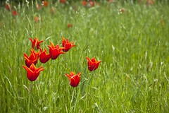 Contrepoint (Gerard Hermand) Tags: 1604211339 gerardhermand france paris canon eos5dmarkii formatpaysage bagatelle parc park rouge red fleur flower nature fond background vert green