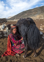 Wakhi nomad woman milking a yak, Big pamir, Wakhan, Afghanistan (Eric Lafforgue) Tags: 4044years adult adultsonly afghan afghan231 afghani afghanistan altitude animal anthropolgy badakhshan bigpamir bosgrunniens centralasia colourimage community cultures day fullframe hat indigenousculture ismaili lifestyles lookingatcamera malongzan milk milking mountain nature nomad nomadicpeople oneperson onewomanonly outdoors pamirmountains people photography poverty red rock ruralscene scenery tourism traditionalclothing transportation traveldestinations vertical wakhancorridor wakhi women womenonly workinganimals yak wakhan pamir