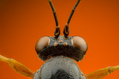 Major Tom (masquerade81) Tags: focusstack head macro extreme bug eyedetail topview fly insect animal dead