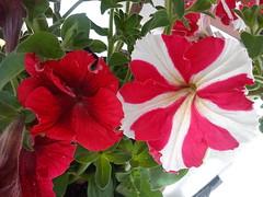 Petunia-  DSC03758 (amalia_mar) Tags: flowers red white garden spring  petuniahybrida      flowerscoloronly  sonyericssone10i  aigioachaiagreece