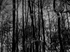 Moor-Mirror - Moor-Spiegel (MiGr) Tags: blackandwhite bw white black forest pen germany mirror und foto spiegel olympus sw f18 moor northern wald schwarz 45mm nord niedersachsen weis aufnahme garlstedt detschland schwarzweis mzuiko epl5