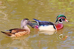 2015 Apr 07 Wood Duck Couple 5480 (digitalmarbles) Tags: canada reflection male nature water birds animal female swimming duck colorful quiet bc britishcolumbia ripple wildlife pair relaxing calm iridescent colourful drake waterfowl hen sheen murky sanctuary birder partners reifel woodduck lowermainland aixsponsa reifelbirdsanctuary birdphotography deltabc wildlifephotography birdphoto eyering