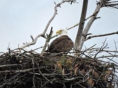 eagle9 (GWP Photography) Tags: bird animal nikon nest eagle outdoor pennsylvania adler baldeagle pa coolpix eaglesnest aquila orel guia aigle waynecounty guila  orze milanville rn nestingpair     upperdelawareriver  waynecountypa coolpixp600