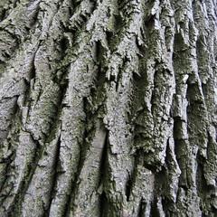 Ash, Brooklyn Botanical Garden, NY (lotos_leo) Tags: red plant ny newyork abstract tree texture nature brooklyn garden botanical spring flora pattern outdoor prospectpark bark ash squared  fraxinus  pennsylvanica