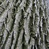 Ash, Brooklyn Botanical Garden, NY (lotosleo) Tags: red plant ny newyork abstract tree texture nature brooklyn garden botanical spring flora pattern outdoor prospectpark bark ash squared сад fraxinus ботанический pennsylvanica ясень бруклинский пенсильванский