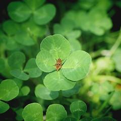 四つ葉のクローバー 画像60