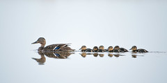 Mallard family (angus molyneux) Tags: holland spring highkey mallard texel