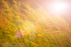 Golden Light (Miles Away Photography - Mandi Miles) Tags: light orange sun art nature field grass sunshine yellow golden ray wheat harvest wallart crop deco