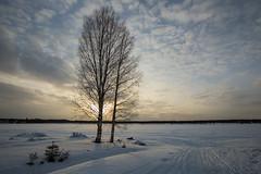 47-Kukkolankoski-02 copy (Beverly Houwing) Tags: snow silhouette suomi finland frozen lapland kukkola birchtree kukkolankoski tornioriver
