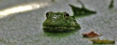 frog and leaves (don.white55 Thank you...) Tags: green eye nature outdoors moss nice pond eyes wildlife w scenic frog swamp marsh habitat herp duckweed herpetology wildwoodpark dauphincounty wildwoodlake donwhite harrisburgpennsylvania pennsylvaniacanal lushgreenery pennsylvaniawildlife pennsylvanialakes thewonderfulworldofnature americanbullfroglithobatescatesbeianus tamronsp150600mmf563divcusda011 harrisburgwildlife donwhite55 donpwhitephotography canoneos70dtamronsp150600mmf563divcusda011 canone0s7od thatswildnaturephotography