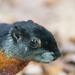 Prevost's squirrel up close