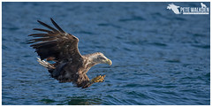 White-Tailed Eagle (Pete Walkden) Tags: whitetailed eagle mull scotland mullcharters