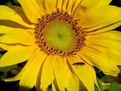Girassol (verridrio) Tags: flower gira sol natura naturaleza nature flor planta flora amarelo yellow amarillo gelb jaune   giallo  sar    ayiei sonnenblume  girasol sunflower girasole sonecznik kwiat fiore iek blume fleur  tournesol sony sun macro beauty