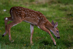 BuckFawn3 (jmishefske) Tags: greenfield milwaukee park nikon d7100 westallis deer wisconsin fawn july whitetail 2016 buck county wildlife
