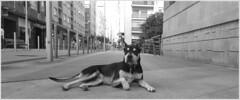 nur_pontevedra_12_07_2016 (maxnemo) Tags: street dog calle perro pontevedra femaledog perra maxnemo