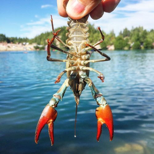 Catching #crayfish by hand. #summer days in #sweden.