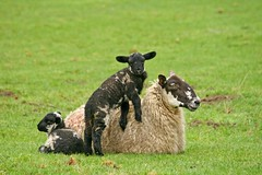 Lean on Me (RoystonVasey) Tags: canon eos sheep zoom lamb usm 70300mm ewe 400d